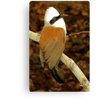 White-crested Laughing Thrush  Canvas Print