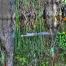 Alligator in The Everglades, South Florida by 242Digital