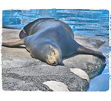 Seal Sleeping Photographic Print