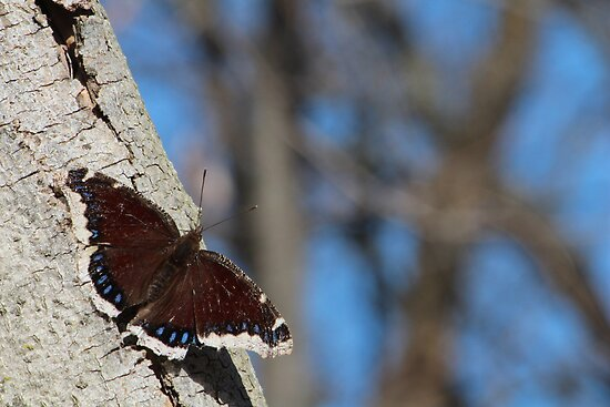 Mourning Cloak by elasita