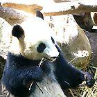 Panda Eating Bamboo by Infinite2000