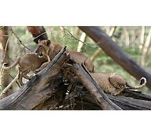 Lionesses climbing trees, Lake Nakuru  Photographic Print