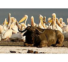 Buffalo and pelicans, Lake Nakuru Photographic Print