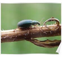 The Pale Green Weevil- Plydrosus impressifrons Poster