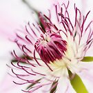 Pink Clematis Close Up - Dreamy by Natalie Kinnear