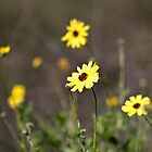 A Dollop Of Daisies by LawrencePhoto