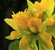 Curly Daffodil with Black Background by Lynn Gedeon