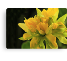 Curly Daffodil with Black Background Canvas Print