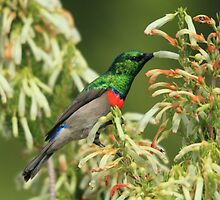 Lesser Double-collared Sunbird by croust