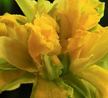 Curly Daffodil by Lynn Gedeon