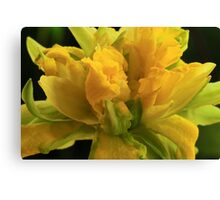 Curly Daffodil Canvas Print