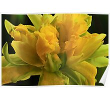 Curly Daffodil Poster