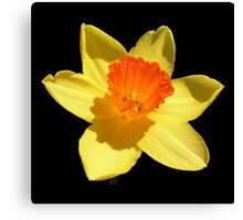 Spring Daffodil Isolated On Black Canvas Print
