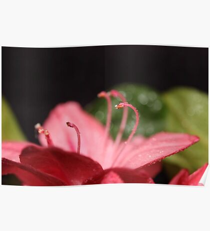Pink Azalea Poster