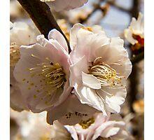 Spring Cherry Blossom Macro Photographic Print