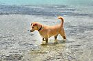 Dog playing in the Caribbean waters at Yamacraw Beach - Nassau, The Bahamas  by Jeremy Lavender Photography