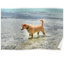 Dog playing in the Caribbean waters at Yamacraw Beach - Nassau, The Bahamas  Poster
