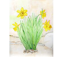 Daffodils Spring 2013 Photographic Print