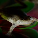 African Dwarf Frog by vasu