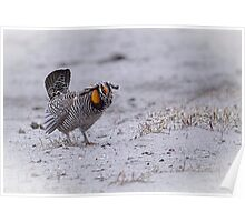 Prairie Chicken 2013-3 Poster