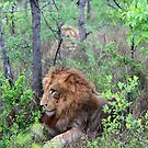 Lions in the bushes by jozi1