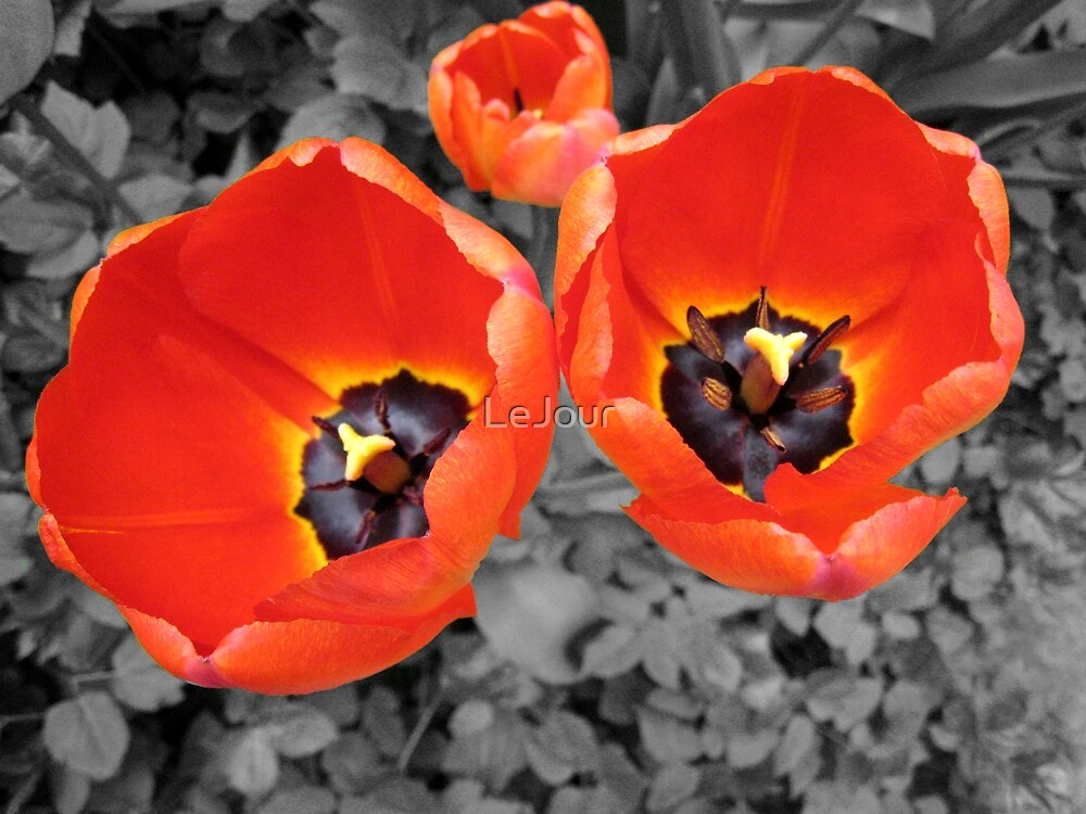 Red Tulips by LeJour
