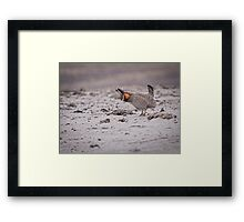 Prairie Chicken 2013-4 Framed Print