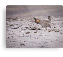 Prairie Chicken 2013-4 Metal Print