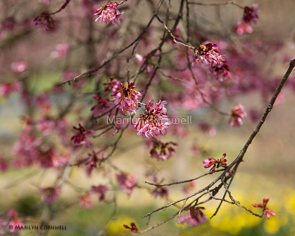 Cherry Blossom Landscape by Marilyn Cornwell