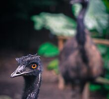 Multiple Emus by csk01