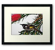 The Honey Eater Framed Print