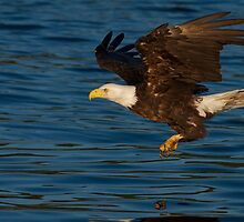 Incoming Bald Eagle by Matthew Elliott