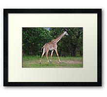 Giraffe - Masai Mara - Kenya Framed Print