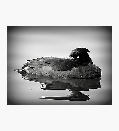 Tufted Duck  Photographic Print