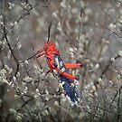 Milkweed Locust-2  by Johanna26