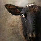 In the eye of a sheep by polly470