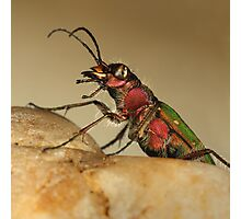 Tiger beetle Photographic Print