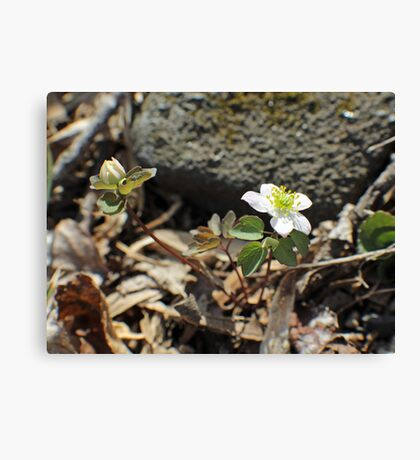 Rue Anemone Wildflower - Thalictrum thalictroides Canvas Print