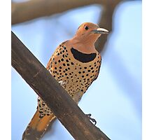 The Northern Flicker Photographic Print