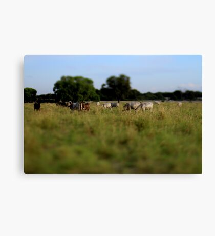 'Miniature' Cows Canvas Print