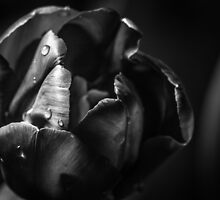 Open Tulip Black and White by Thliii