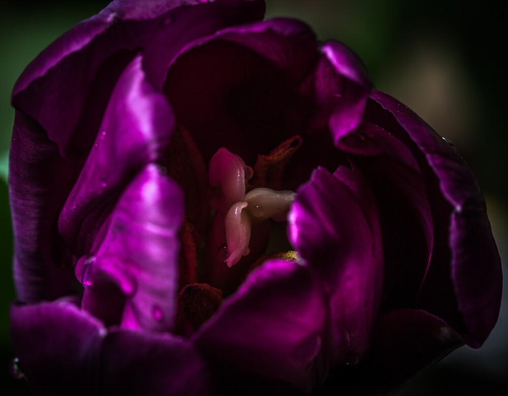 Blooming Purple Tulip by Thliii