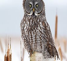 Great Gray Owl on Birch by Bill McMullen