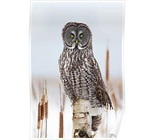 Great Gray Owl on Birch Poster
