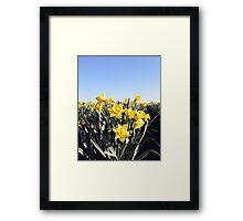 Mt. Vernon Daffodils Framed Print