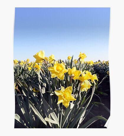 Mt. Vernon Daffodils Poster