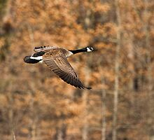 Spring Goose by Thomas Young
