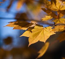 Autumn Maple by Paul Malandain