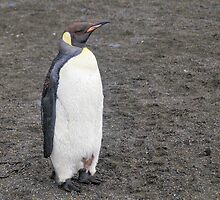 King Penguin in South Georgia by Geoffrey Higges