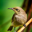 Honeyeater.. by tracielouise